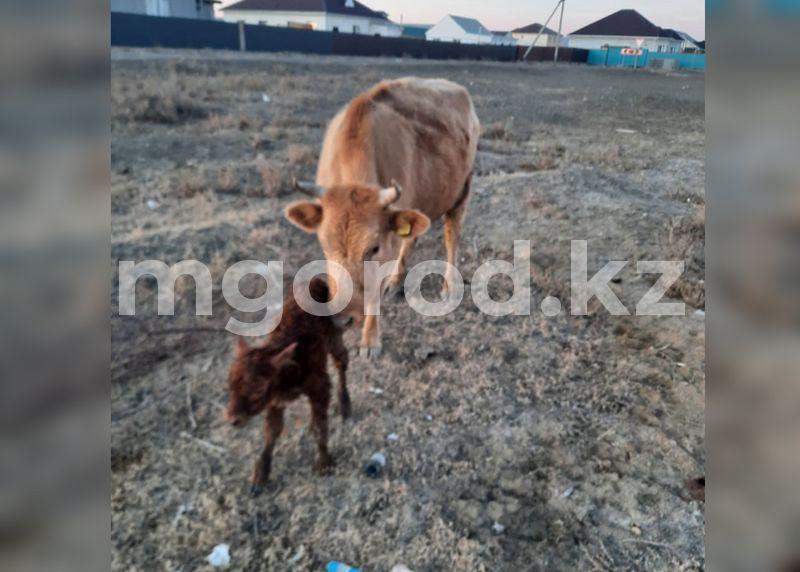 В Атырау полицейские на служебном авто доставили теленка хозяину Новорожденного теленка на служебном авто доставили домой полицейские Атырау