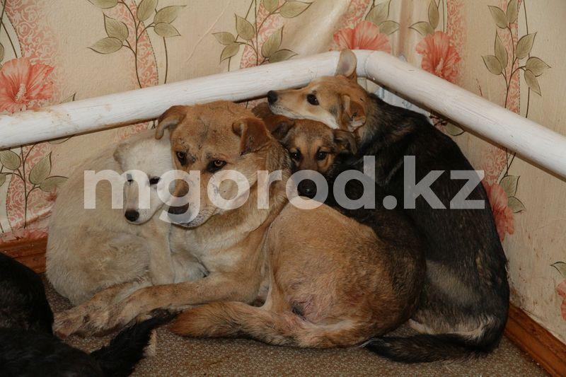 Аким ЗКО поручил в течение двух месяцев завершить чипирование собак и кошек Защитники животных ужаснулись качеством стерилизации бродячих животных в Уральске