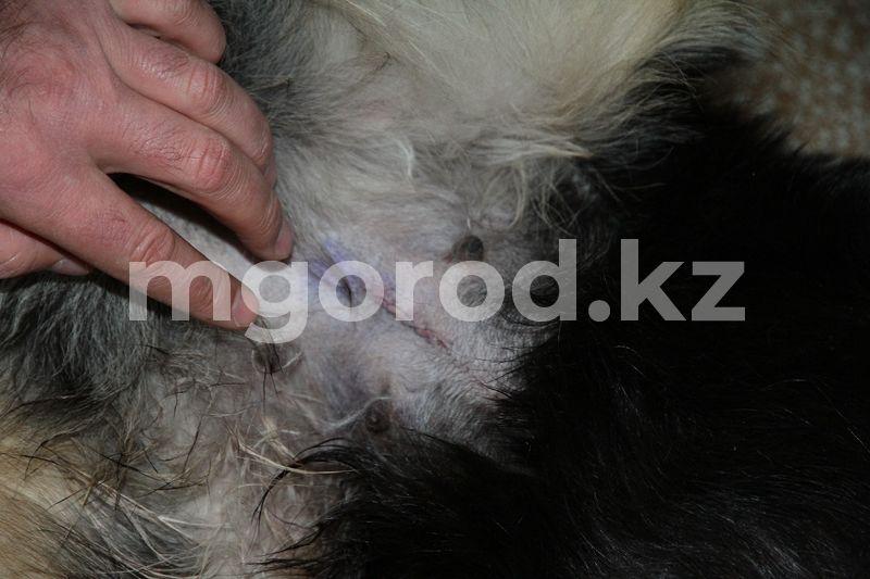 Защитники животных ужаснулись качеством стерилизации бродячих животных в Уральске Отлов бродячих животных в Уральске: расходящиеся швы после стерилизации, ужасающие видео собак в крови