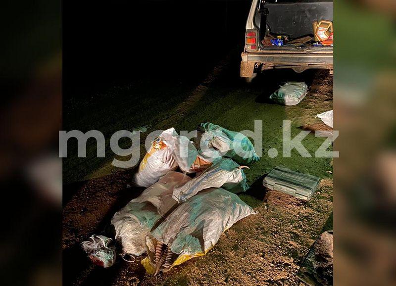 Жители ЗКО спиливали рога с туш мертвых сайгаков (фото) Жители ЗКО спиливали рога с мертвых туш сайгаков (фото)