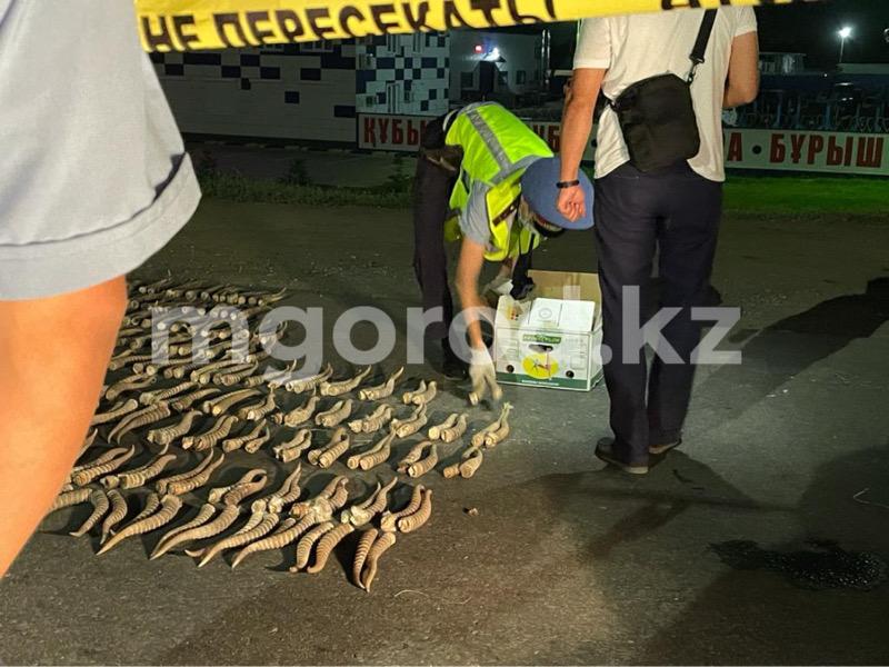 Более тысячи сайгачьих рогов изъяли в ЗКО
