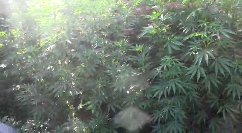 Уральские полицейские обнаружили 37 кустов конопли во дворе частного дома (видео) Уральские полицейские обнаружили кусты конопли во дворе частного дома (видео)